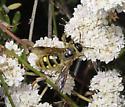 California Buckwheat Pollinator - Crioscolia alcione