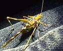 Creosote Bush Katydid  - Golden - Insara covilleae - male