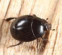 Histerid - Margarinotus cognatus