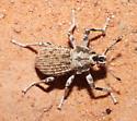 Broad-nosed Weevil - possibly Ophryastes? - Ophryastes