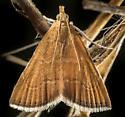 Aethiophysa invisalis moth - Aethiophysa invisalis