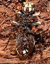 Dolichovespula maculata queen? - Dolichovespula maculata