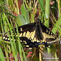 Desert Black Swallowtail in LA County - Papilio polyxenes