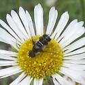 Diptera 01b - Villa