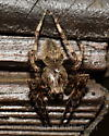Orb Weaver (species?) - Araneus - male