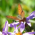 Lycaena mariposa - male