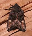 Noctuidae - Euplexia benesimilis