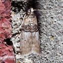 5808 Tlascala Moth ??? - Tlascala reductella