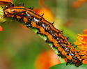 caterpillar - Agraulis vanillae