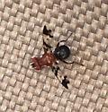 Unknown small fly - Epiplatea erosa