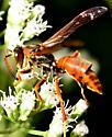 Paper Wasp - Polistes? - Polistes fuscatus - male