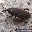 Weevil - Sphenophorus apicalis
