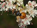 Unusual fly - Gymnosoma