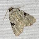 Leuconycta diphteroides / Green Leuconycta - Leuconycta diphteroides