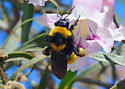 Reality Check: Is this the Sonoran Bumble Bee, Bombus sonorus? - Bombus sonorus - female