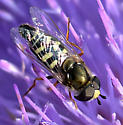 Bird Hover Fly - Eupeodes volucris - male