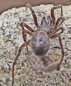 Spider ID ? - Steatoda borealis