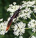 Ichneumon sp ? - Protichneumon grandis - female