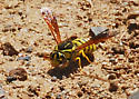 Quick Wasp, likely P. coquilletti - Pseudomasaris coquilletti - female