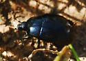 Shiny black beetle, scrambling along trail
