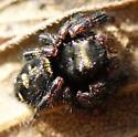 black spider on goldenrod - Phidippus audax? - Phidippus audax
