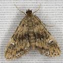 Synclita 2070 - Elophila obliteralis