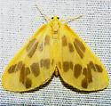 Eubaphe mendica - Hodges #7440 - Eubaphe mendica