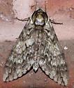 What kind of moth? - Ceratomia undulosa