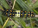 Interesting Caterpillar - Papilio zelicaon