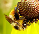 Bumblebee - Bombus rufocinctus