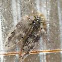 Drain Fly - Psychoda