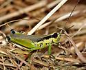 Paroxya clavuliger - male