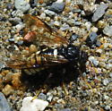Huge wasp or hornet? - Cimbex americana