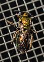 Augochlorini - genus and species please? - Augochlora pura