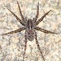 wolf spider - Pardosa milvina - female