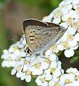 Butterfly species? - Lycaena editha