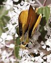 Last denizen of the Ceanothus bush - Copaeodes aurantiaca