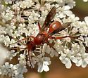 Wasp? - Ageniella accepta