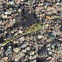 Green and black dragonfly - Ophiogomphus severus - female