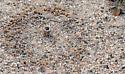Nest: sand chimneys - Geolycosa