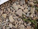 Collembola, lots - Bourletiella hortensis