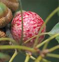 Oak Gall A - unident - Amphibolips quercusjuglans