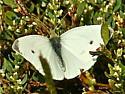 Cabbage White (Pieris rapae) - Pieris rapae - male