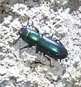 metallic green beetle - Temnoscheila
