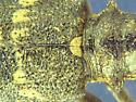 USDA wants to know - Monochamus scutellatus - female