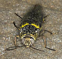 First CA post of Gyascutus caelatus? - Gyascutus fulgidus