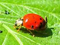 Multicolored Asian Lady Beetle? - Harmonia axyridis