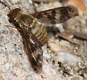 unk bee fly - Dipalta serpentina