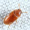 small beetle - Typhaea stercorea