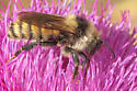 Bumblebee - Bombus appositus